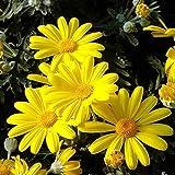 10 Pezzi pianta piante di margherita gialla euriopsis in vaso 7 altezza 15/20 cm prima scelta confezione da 10 pezzi vivaiosantabernadetta