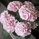 母の日 父の日 紫陽花 誕生日プレゼント 結婚 新築祝い あじさい 鉢植え あじさい ハイドランジア コットンキャンディー ピンク 5寸