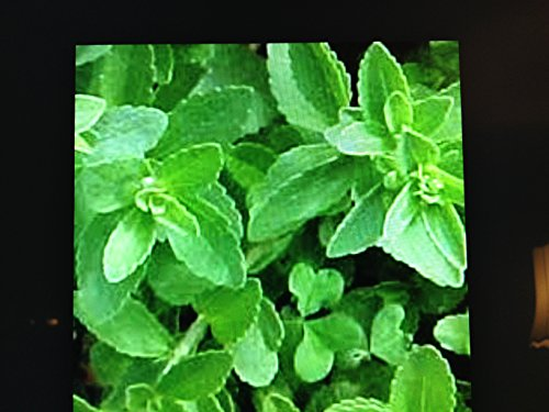 3 Stevia Plants, No Calorie Natural Sweetner Herb Well Rooted in a 4...