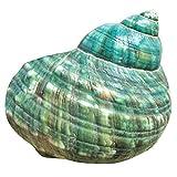 Huante 10 cm verde Turbo natural raro, concha de mar real, impresionante decoración curativa del océano, 1 unidad
