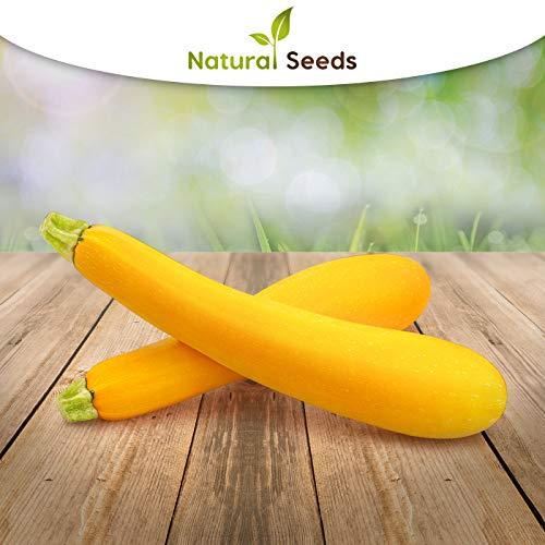 gelbe Zucchini 25 x Samen aus Portugal 100% Natur/Massenträger ideal zum Grillen und Einlegen echter Hingucker