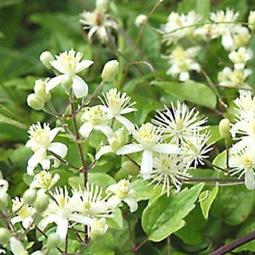 3 x Clematis Vitalba (Waldrebe): 3 kaufen / 2 bezahlen - Weiß, Mehrjährig und Winterhart | ClematisOnline Kletterpflanzen