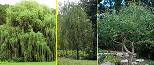 Willow Tree Bundle - 10 Fast Growing Aussie Willow Trees + 4 Weeping Willow Trees + 2 Corkscrew Willow Tree - Ready to Plant - Indoor/Outdoor Live Tree Plants - Fast Privacy and Unique Look all in One