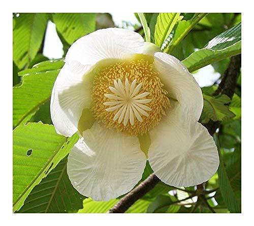 Dillenia indica - Pomme d éléphant - 100 graines