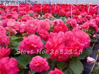 New Balcon usine 20 pièces colorées Begonia Graines de fleurs Rare Rose Rieger Begonia fleurs Begonia Plantes d'intérieur Bonsai Garden 16