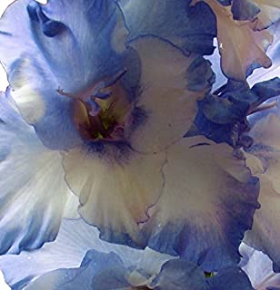 (20) Beautiful Flowering Perennials, Sword Lily, Gladiolus Bulbs/Corms, Blue Blends Mix - clarence