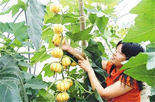 Graines de citrouille rares Cucurbita fil d'or de citrouille non-OGM légumes jardin Bonsai plantes ornementales semences Escalade 10 Pcs/sac 18