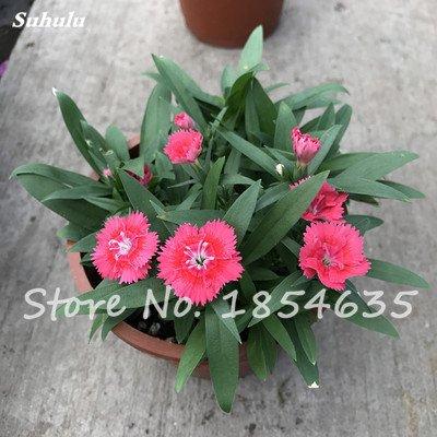 Inde importation Œillets Seed Dianthus caryophyllus Embellir et de purification d'air bricolage jardin Plantation maman cadeau 120 Pcs