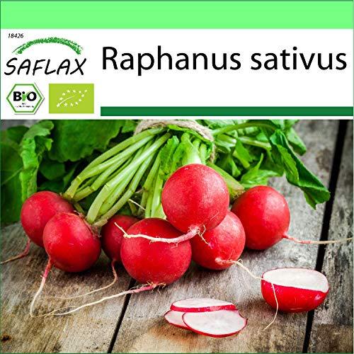 SAFLAX - Jardin dans la boîte - BIO - Radis - Cherry bell - 100 graines - Avec pot en argile, support, substrat de culture et engrais - Raphanus sativus
