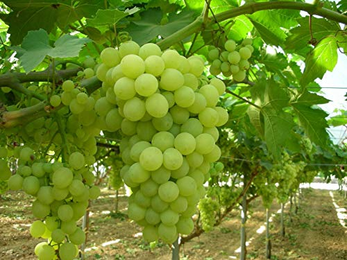 Thompson Seedless Grape Vine Live Plant BGAR168