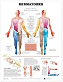Dermatomes Anatomical Chart - Anatomical Chart Company