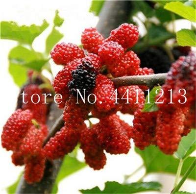 Bloom Green Co. Gran promocin !!!20 Piezas Negro Morera Bonsai Morus Nigra Ãrbol Jardn Arbusto Jardn de casa DIY: 4