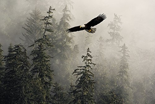 Posterazzi Bald Eagle Soaring In Flight Through Misty Tongass Nat Forest Se Alaska Summer Composite Poster Print, (17 x 11)