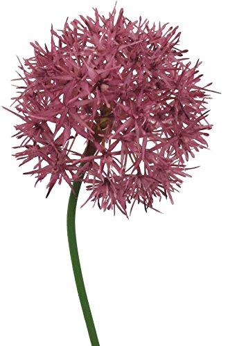 Allium 51cm lila