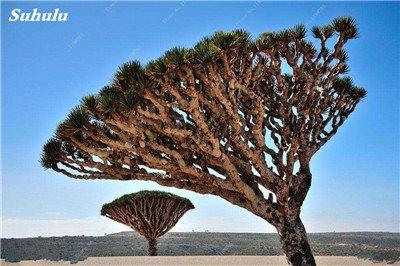 Dracaena arbre Graines, Arbre de sang (Dracaena draco), Graines rares Showy géant Fleur de cerisier Bonsai pot plantes de jardin 10 pièces 8