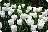 Tulipanes bulbos-Bulbos De TulipáN Verdaderos, Flor Del TulipáN, (No TulipáN Semillas), Bulbos De Flores Simboliza El Amor, La Planta De La Flor Tulipanes De Plantas De JardíN-blanco,50bulbos