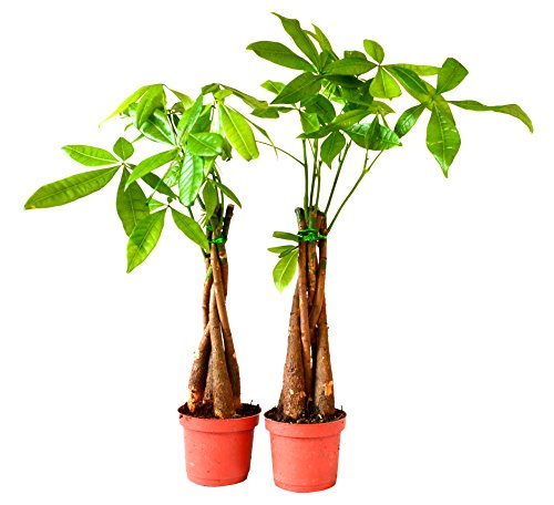 9Greenbox 5 Plants Braided Into 1 Pachira Tree, Money Tree (Pack of 2) Live Plant Ornament Decor for Home, Kitchen, Office, Table, Desk - Attracts Zen, Luck, Good Fortune - Non-GMO, Grown in the USA