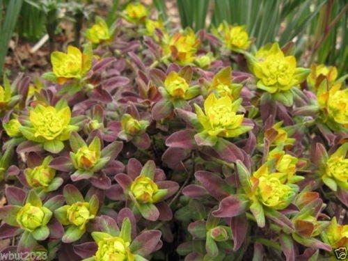 20 Euphorbia polychroma « Bonfire Seed - Une faible croissance attrayante succulente