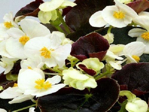 50 graines de semences enrobées Chocolats Begonia Blanc ACHETER FLEURS