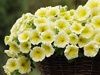 Petunia Easy Wave Yellow Annual Seeds