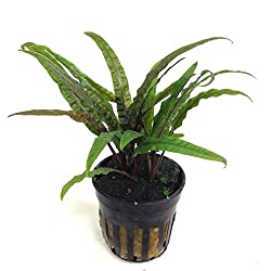 Cryptocoryne Balansae Growers Guide 2020 4