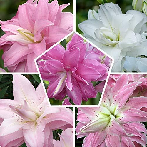 10 Orientalisch Lotus Lilien Zwiebeln Kollektion, 5 duftend Sorten, 2 von jeder Farbe, Mehrjährig und Winterhart Blumenzwiebeln Lilien Mix (kein Samen), Mischung aus Holland für Garten