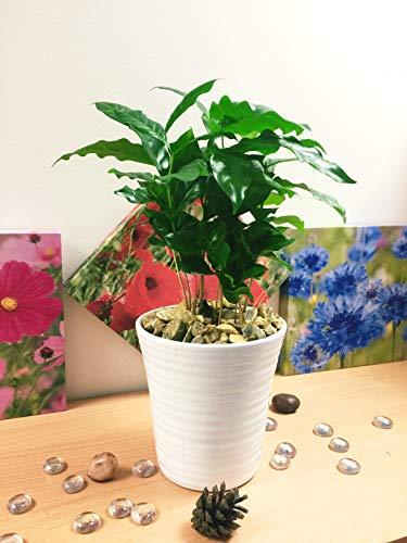 Easy Plants 1 planta de café en maceta de cerámica blanca y grava dorada de otoño
