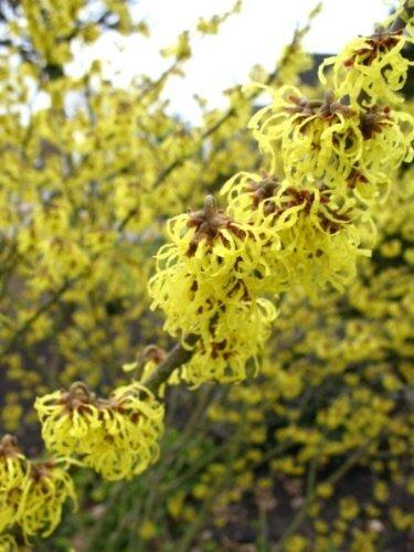 gelbblühende Zaubernuss Hamamelis intermedia Westerstede 60-80 cm hoch im 5 Liter Pflanzcontainer
