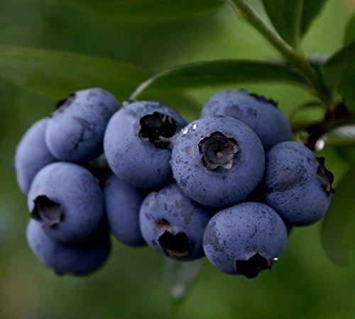 À bas prix Bonsai doux Blueberry semences Graines de fruits vivaces pots de fleurs jardinières 50seeds.bag