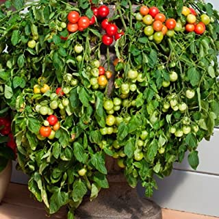 Tomato Cherry Falls F1 - Vegetable Seeds - 100 Seeds