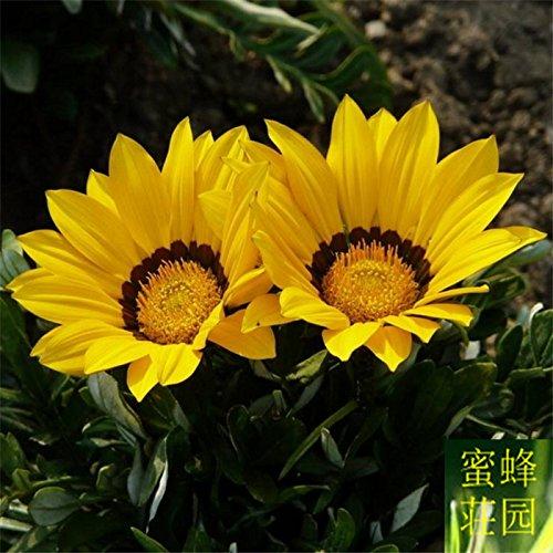 gombo rouges Graines yangjiao pics rein 20seeds jaune