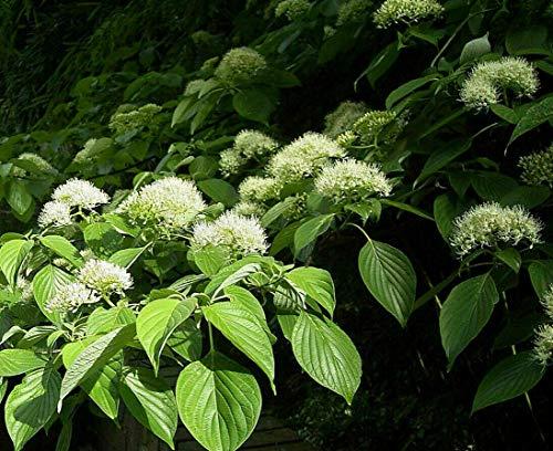 Riesen-Hartriegel Cornus controversa Pflanze 70-80cm Pagoden-Hartriegel Rarität