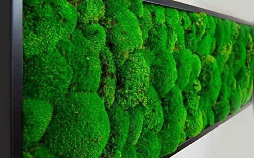 Moosbild Wandbild mit Kugelmoos, Pflanzenbild, versch. Maße günstig (Schwarz, 140x40 cm)