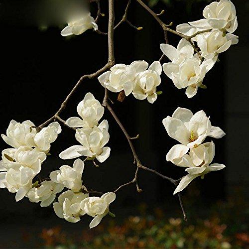 Balcon Fleurs en pot blanc Magnolia Seeds Facile à cultiver des plantes à fleurs 120 particules / lot