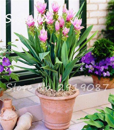 50 pièces rares Rhizoma Curcuma Graines de fleurs Curcuma graines alimentaires Assaisonnement Antibiose intérieur Plantes en pot Bonsai sain jardin 12