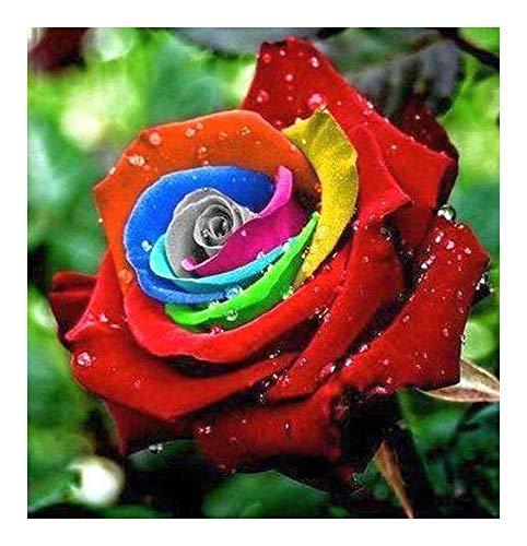 Rose arc-en-couleur - 10 graines