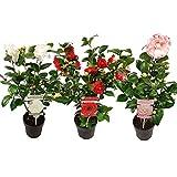 Flores de Botanicly – 3 × Camellia Japonica –...