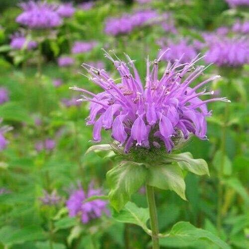 Mintleaf Bee Balm Long-awaited Herb Seeds See Fistulosa Monarda 200+ jocad supreme