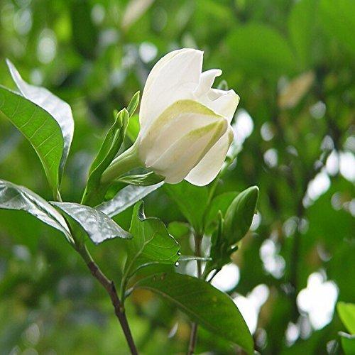 10pcs Gardenia Capo Jasmine fiore di gelsomino Gardenia Seed
