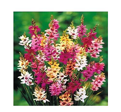 FERRY Bio-Saatgut Nicht nur Pflanzen: 60 Mischfarbe Ixia Hybrid Behälter im Garten Yard Landschaftsbau
