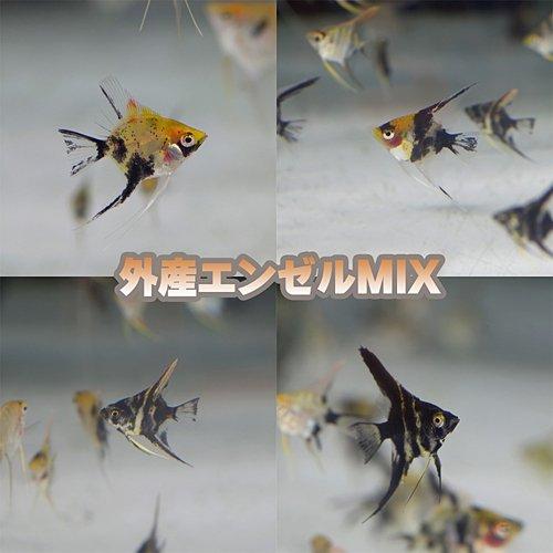 (熱帯魚)外国産ミックスエンゼル (エンゼルフィッシュ)(約1.5-3cm)<5匹>[生体]
