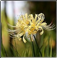 リコリス球根*ひがん花球根*鉢植え,魅力的でゴージャス,マジック、神秘的、友達に送ることができます、花の球根、-黄,2 球根