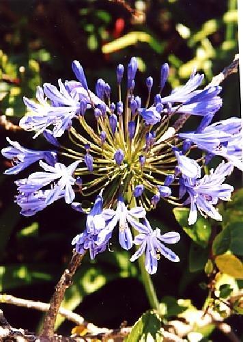 TROPICA - Agapanthe/fleur d'amour (Agapanthus orientalis ssy. praecox (blue)) - 502 graines- Méditerranée