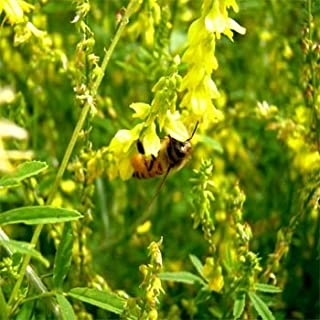 Best yellow clover seed Reviews