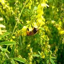 Outsidepride Yellow Sweet Clover Seed: Nitro-Coated, Inoculated - 10 LBS