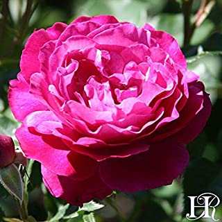 Own-Root One Gallon Wild Blue Yonder Grandiflora Rose by Heirloom Roses