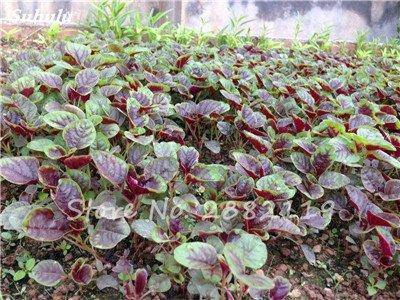 Herb Amaranthus Tricolor Seeds 50 Pcs graminée Semente non Ogm végétale comestible Bonsai Plante en pot sain sucré 10