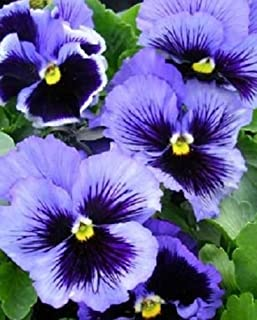 50 seeds of Pansy Frizzle Sizzle Blue FLOWER SEEDS