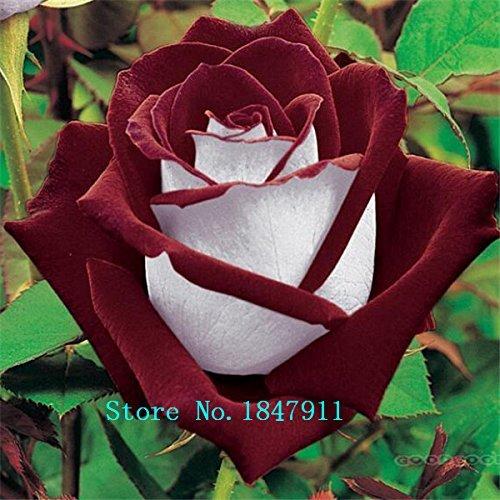 Grande vente Professional Pack, 100 graines / paquet, New Rosen Samen Blue Rose Seeds Gothic Gardenin
