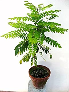 herb Seeds - Curry Leaf Plant Seeds Small Bush Seeds Plant Seeds for Garden pack60 Seeds